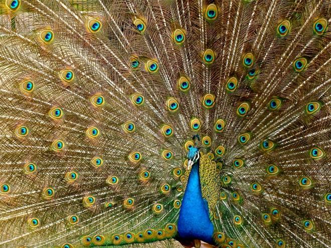 PEXELS peacock-plumage-bird-peafowl-45911.jpeg